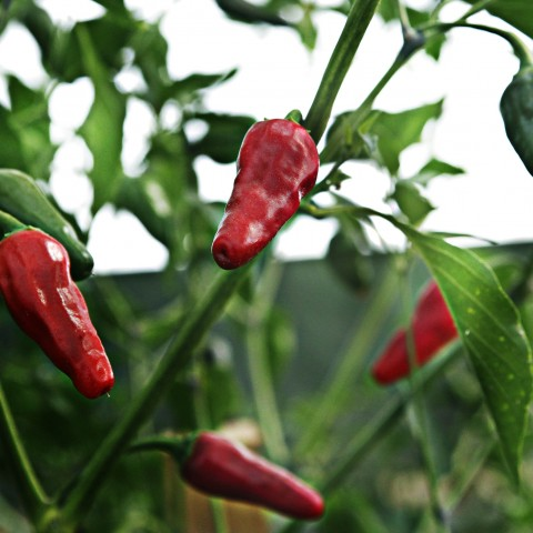 chiles-02